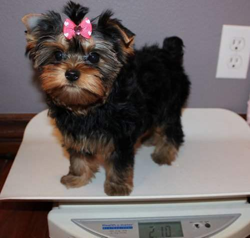 cute Yorkshire Terriers