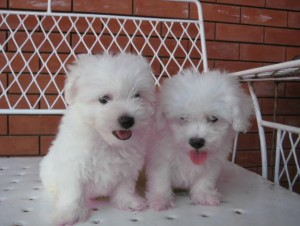 Male And Female Bichon Frise pups for adoption