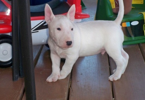 English Bull Terrier Puppies For Sale.
