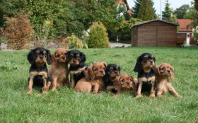 avalier-King-Charles-Spaniel-puppies