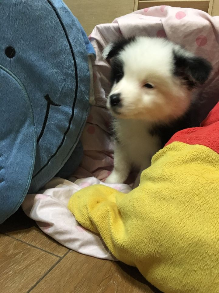 Border collie dogs for sale