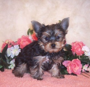Cute Yorkie Puppies Available