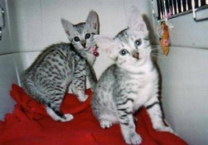 Lovely Egyptian Mau Kitten