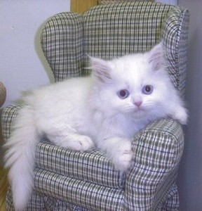 Excellent Persian Kittens Available For Any Good Homes