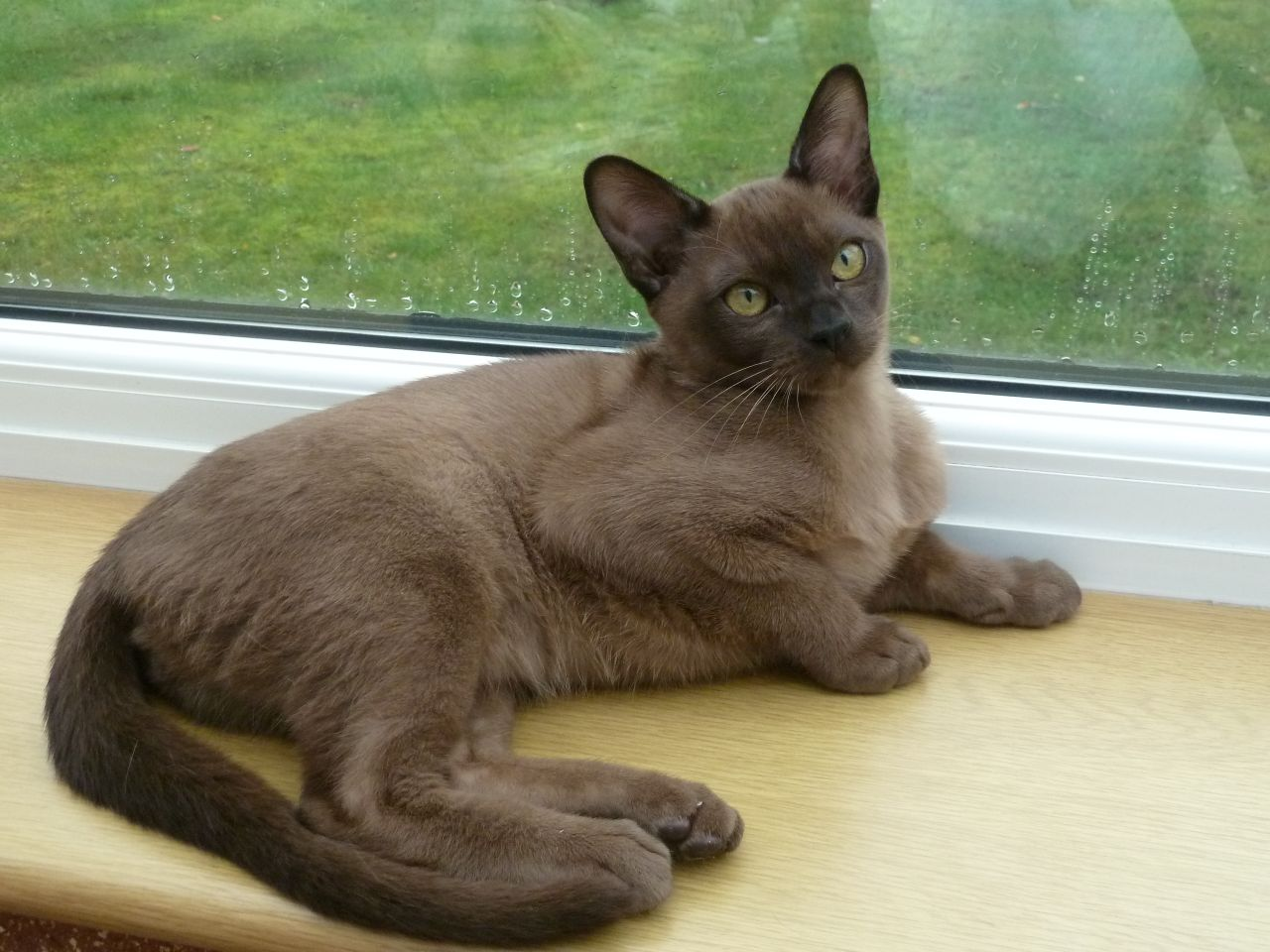 Beautiful Burmese Kitten Available