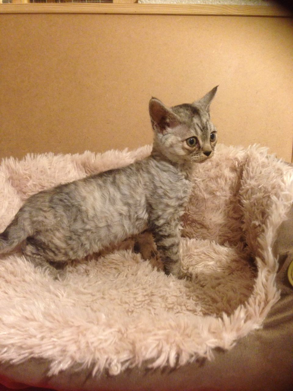 kittens for sale near me free