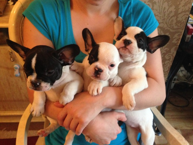Stunning Kc Reg French Bulldog Puppies