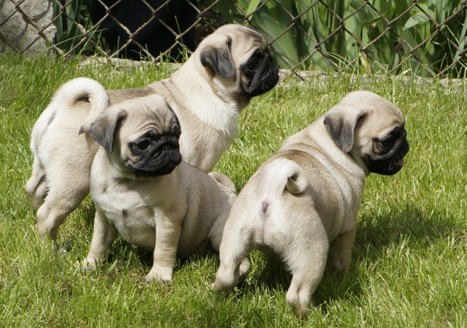 Chunky Kc Reg Pug pups for sale