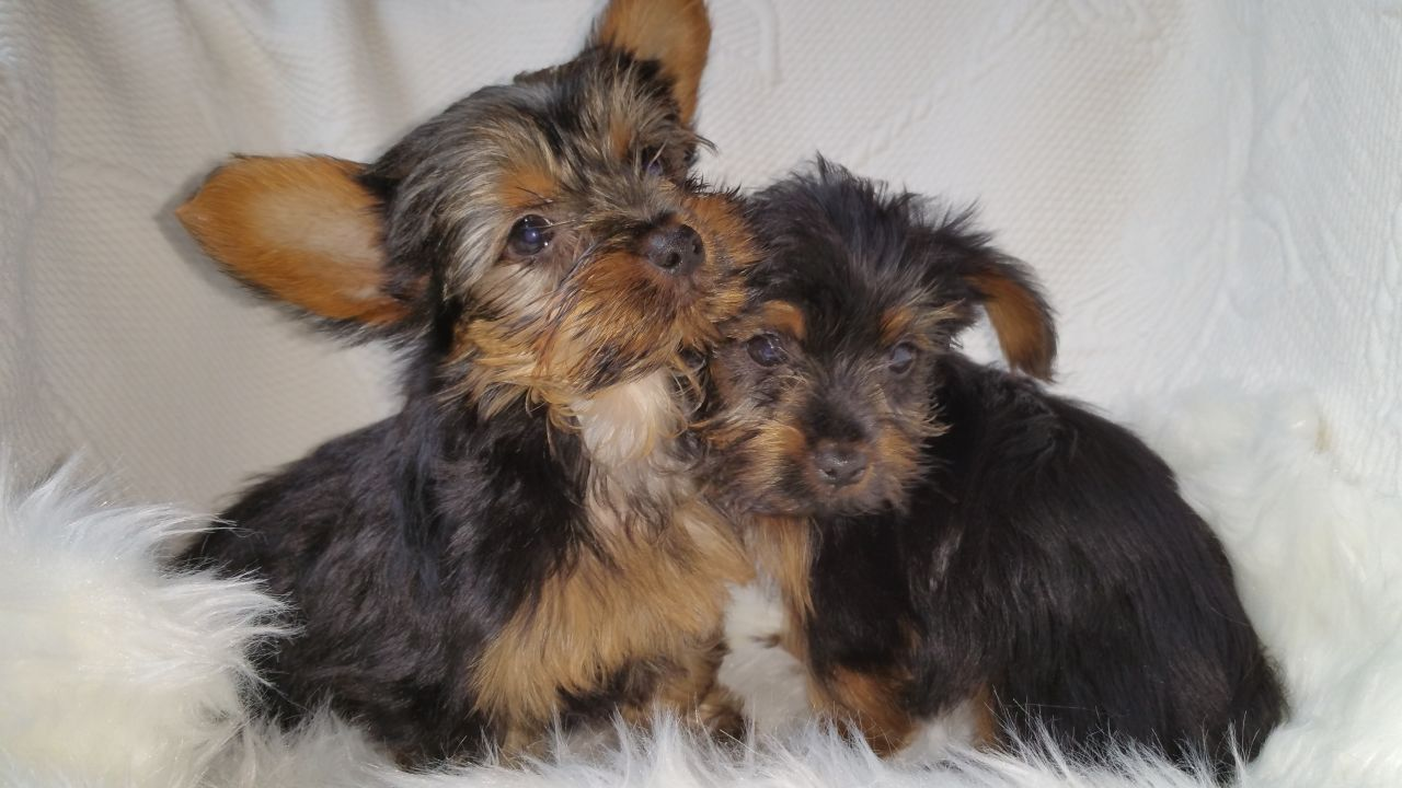 Adorable Yorkshire Terrier Puppies .