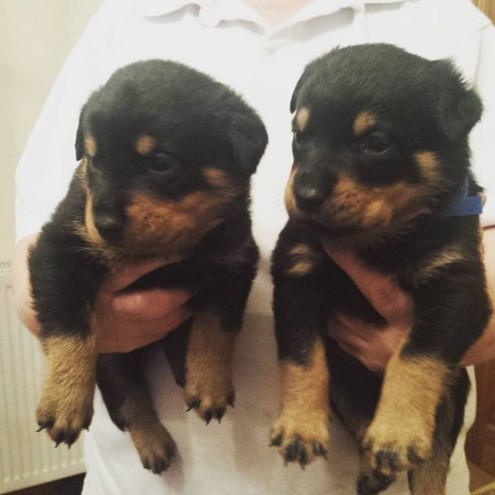 Pedigree Rottweilers For Sale