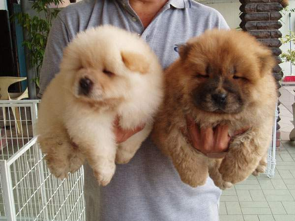 Stunning Chunky Chow Chow Puppies