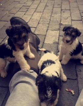 Wire Fox Terriers Puppys Ready To Go