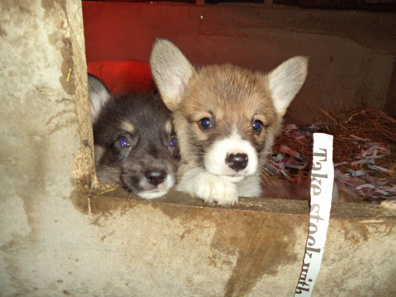 Playful Pembrokshire Corgi Puppies
