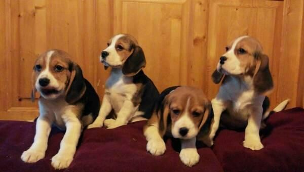 Beagle Puppies Boys And Girls
