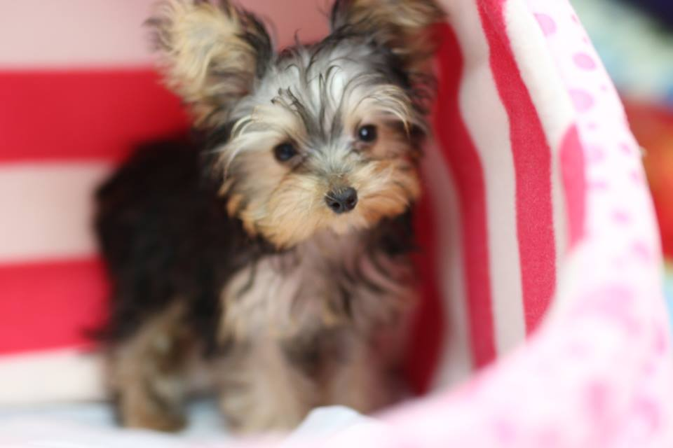 Puppies yorkshire terrier for sale