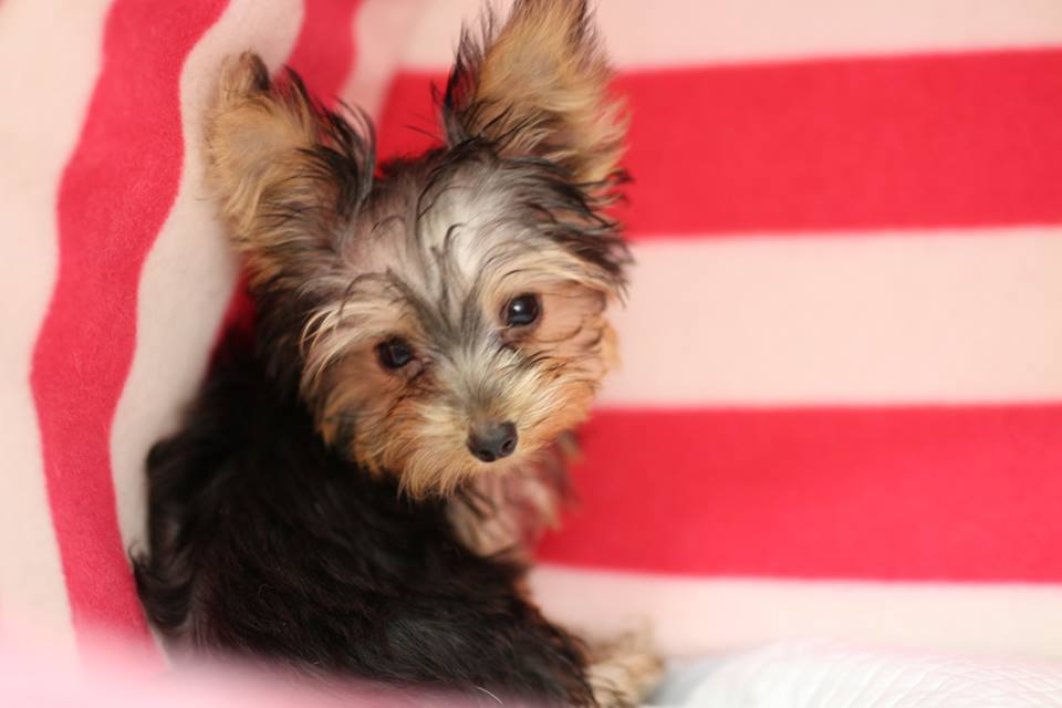 Males and females yorkshire terrier