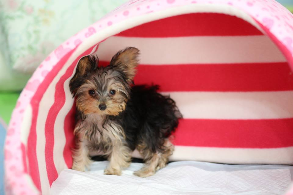 Tea cup yorkshire terrier