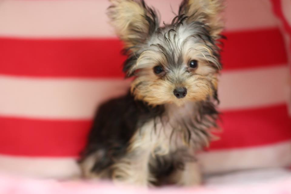Breeder Yorkshire terrier HK