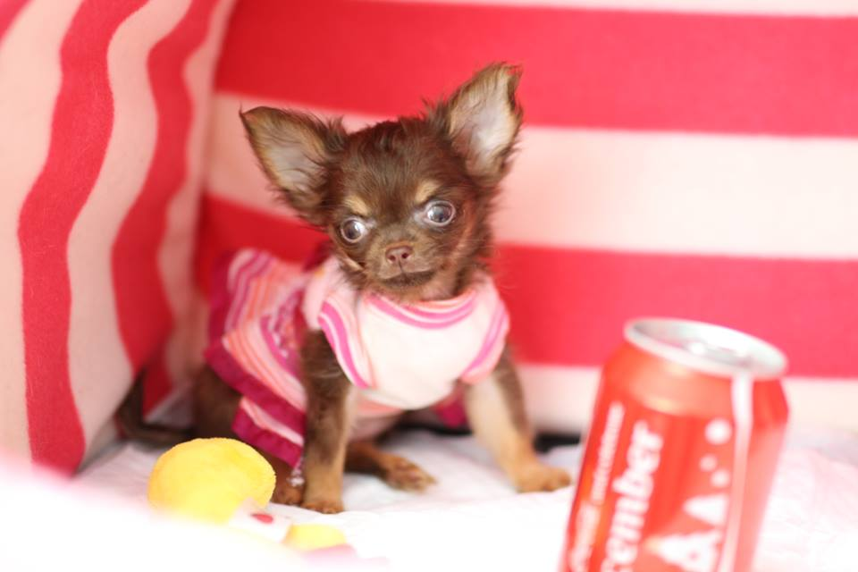 Chihuahua for sale tea cup