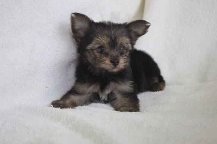Pups yorkshire terrier