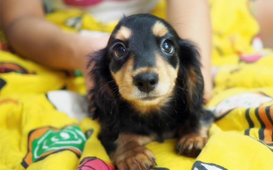 Puppies Dachshund for sale hk