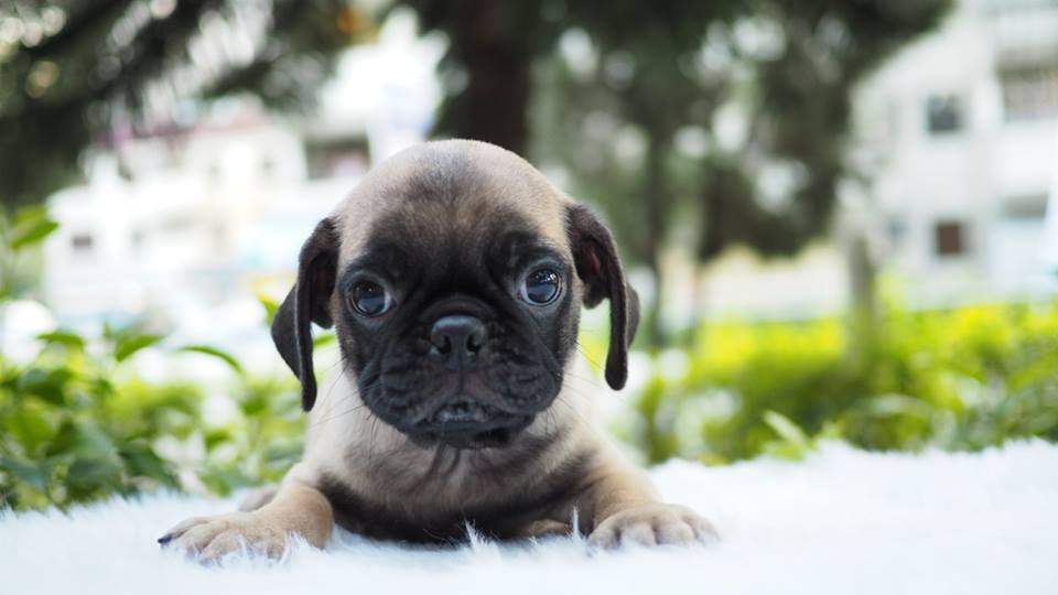 Puppy for sale Pug
