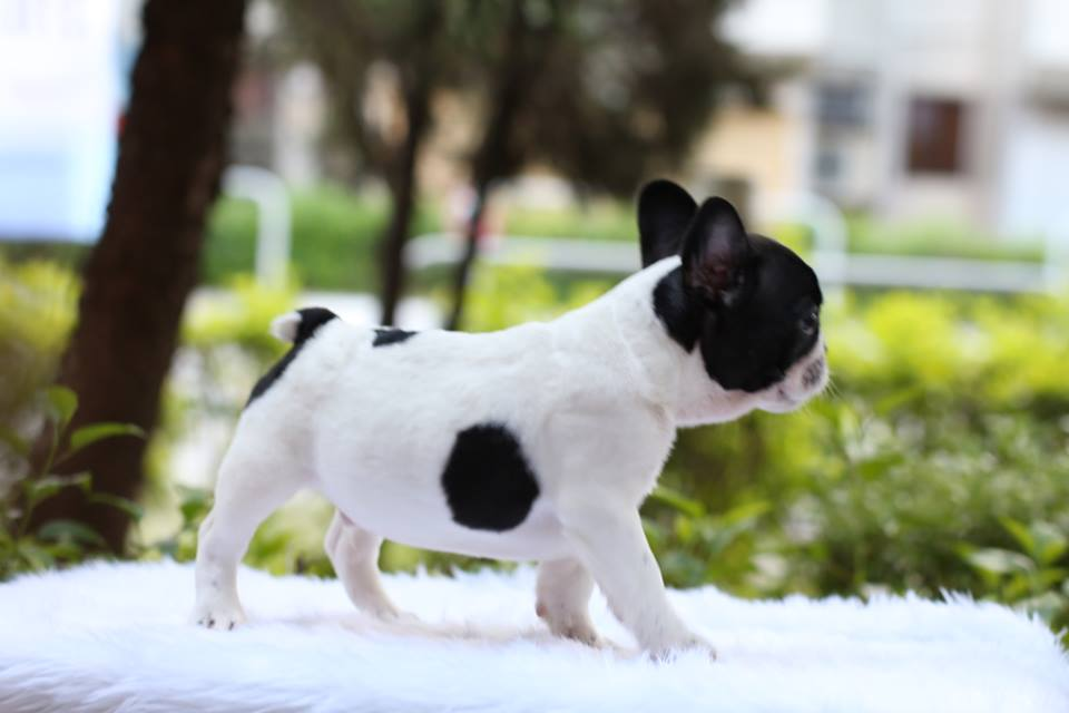 Frenchie for sale puppies