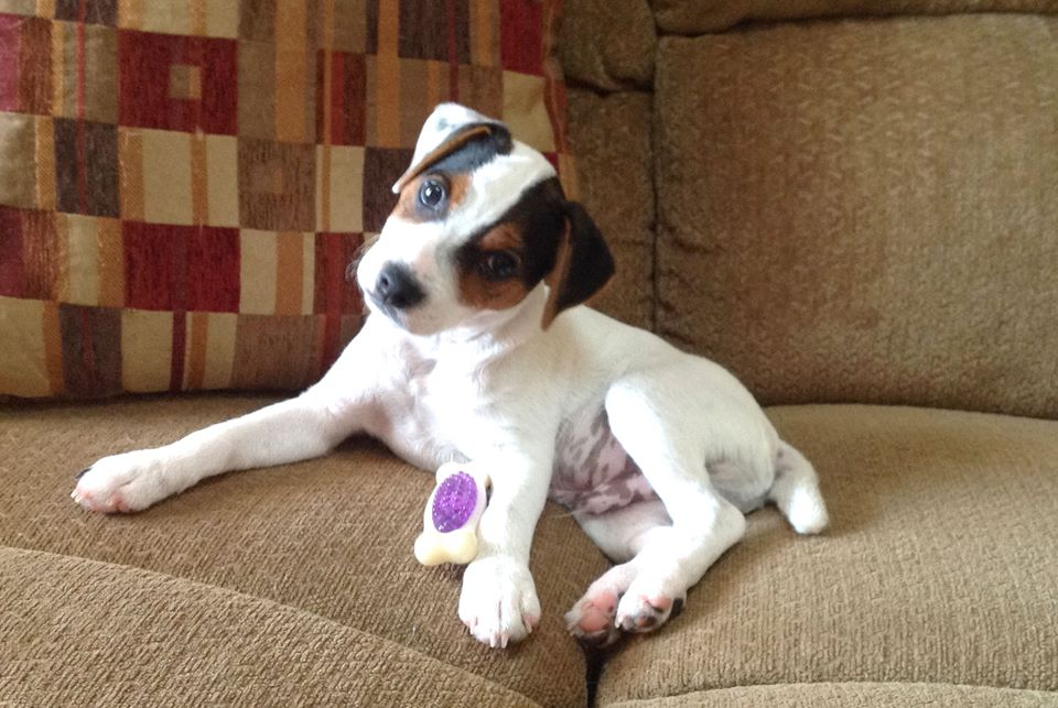 puppies for sale jack russell terrier