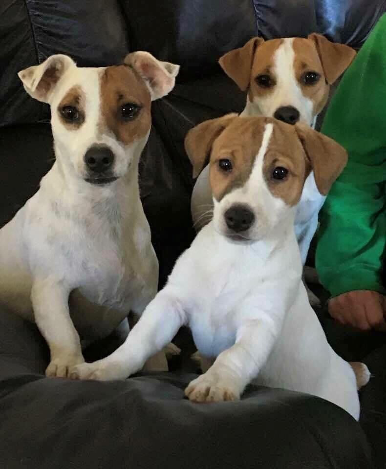 jack russell terrier  dog breeders