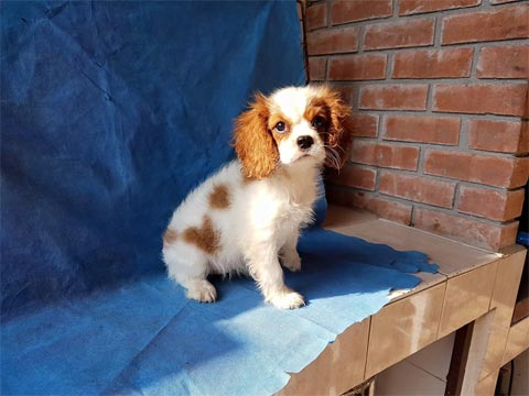 Puppies for sale Cavalier King Charles spaniel