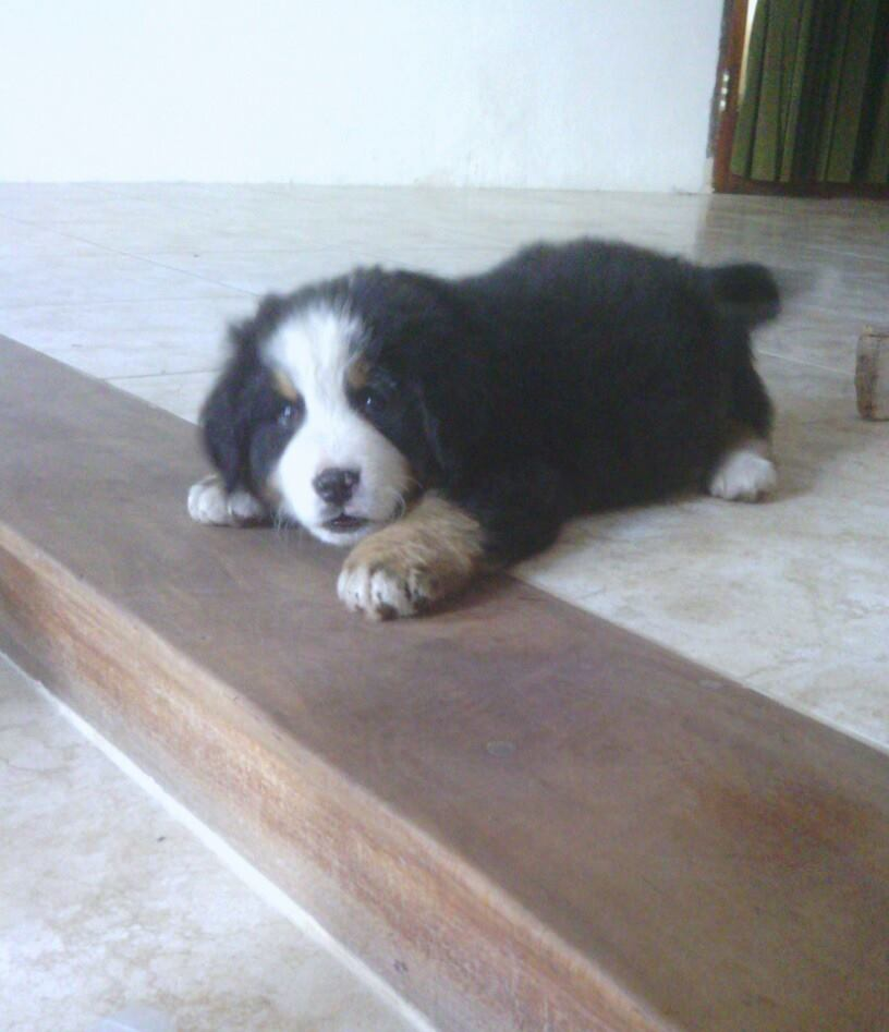 bernese mountain pup 8 weeks