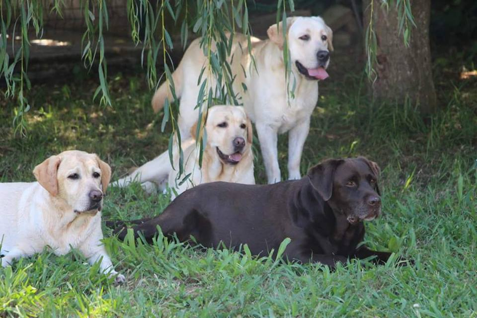 Labrador retriever kennel, pedigree, litter