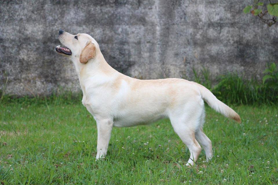 Breeder labrador retriever