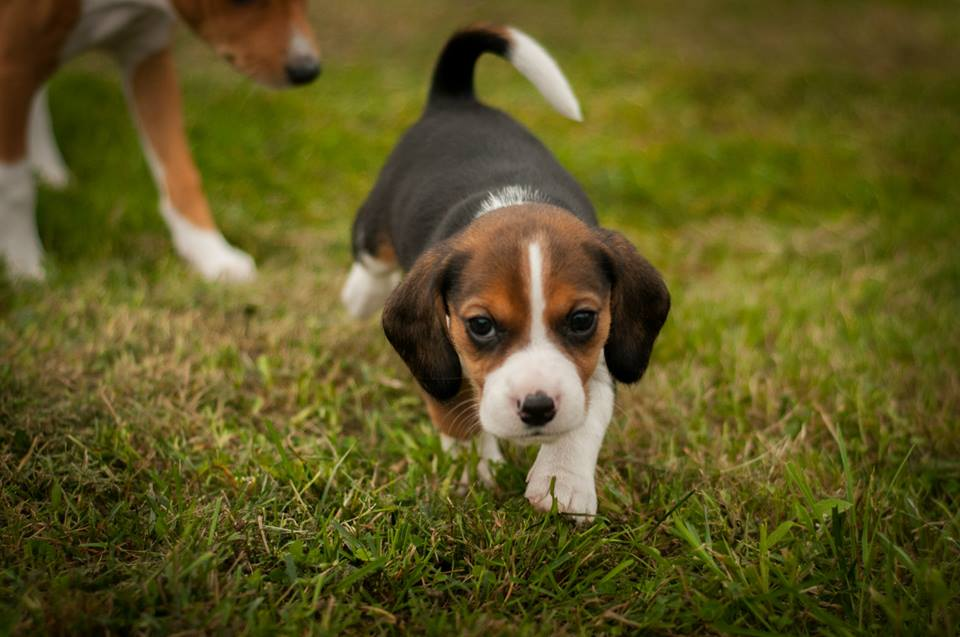 Beagle breeder for sale
