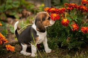Beagle breeders hk
