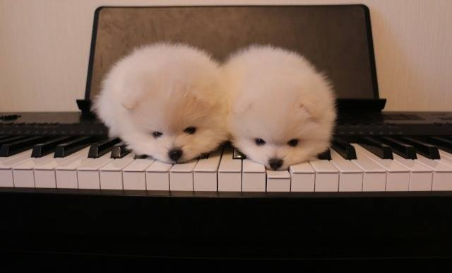 couple pomeranian for sale