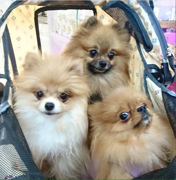 pomeranian dog breeder