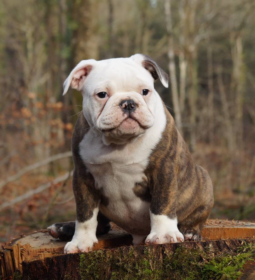 Pup for sale english bulldog