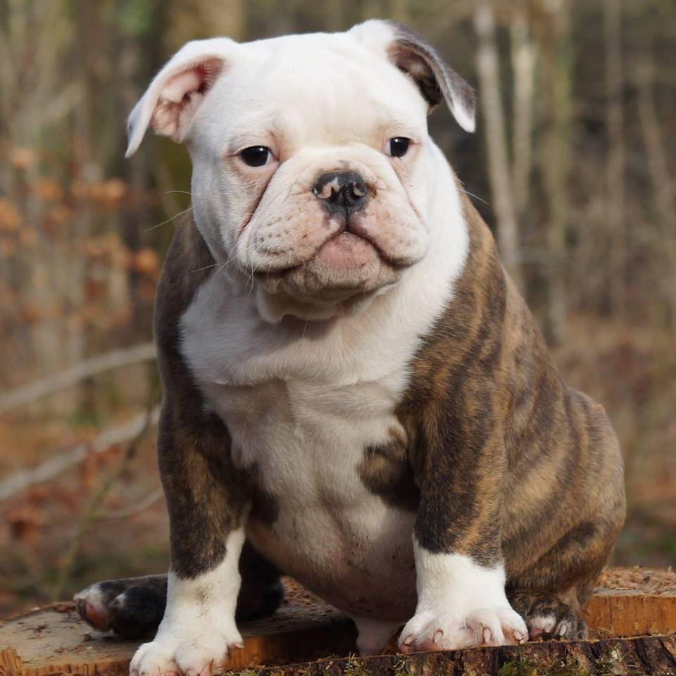 Breeders Puppies english bulldog