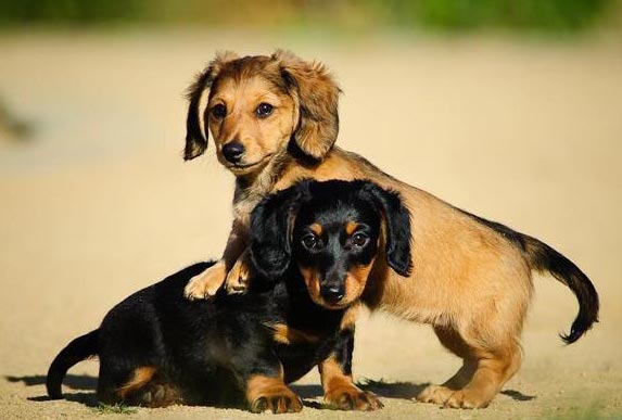 Buy a mini dachshund