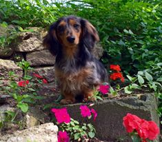 long hair puppies dachshund