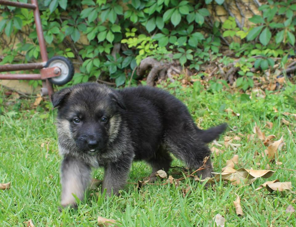 buy dog  German shepherd