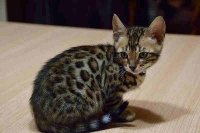 Bengal kittens are now available