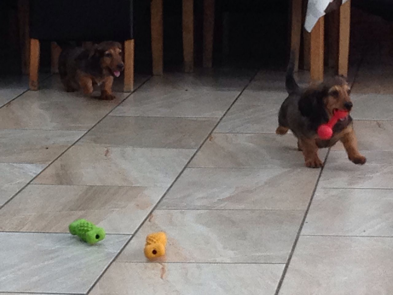 Miniature Dashound Puppies