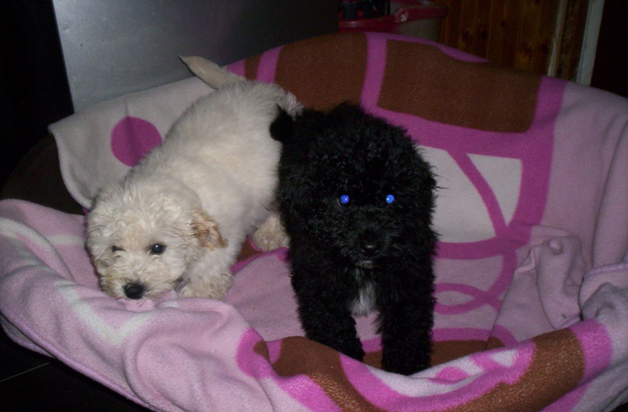 Bichon Frise Puppies For Free Adoption..