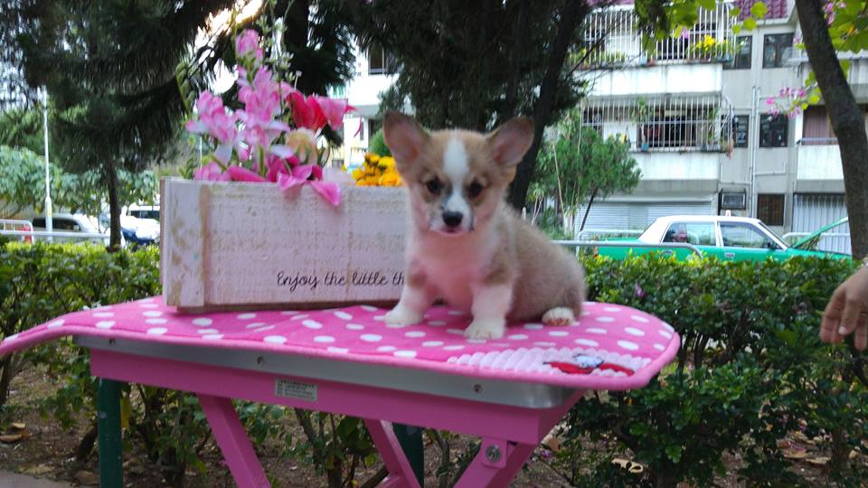 Puppies for sale welsh corgi