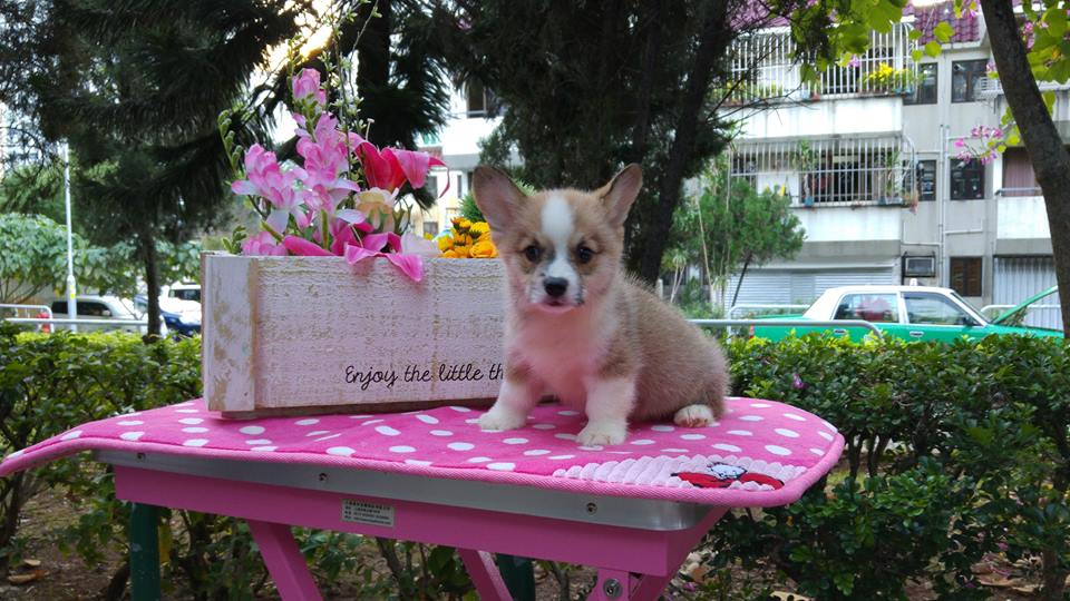 Breeder welsh corgi