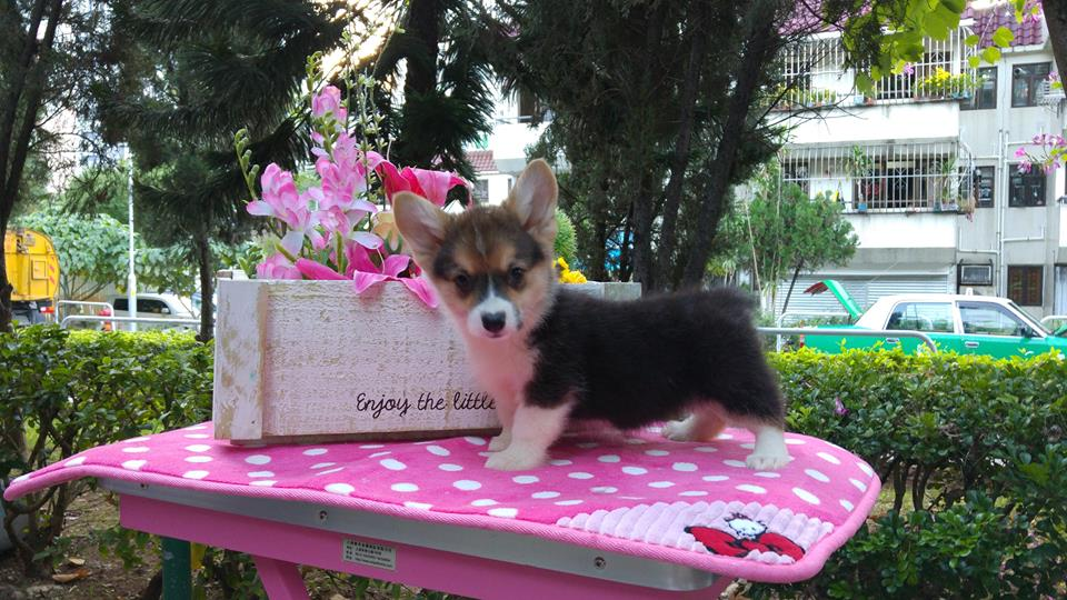 Welsh corgi sale puppies