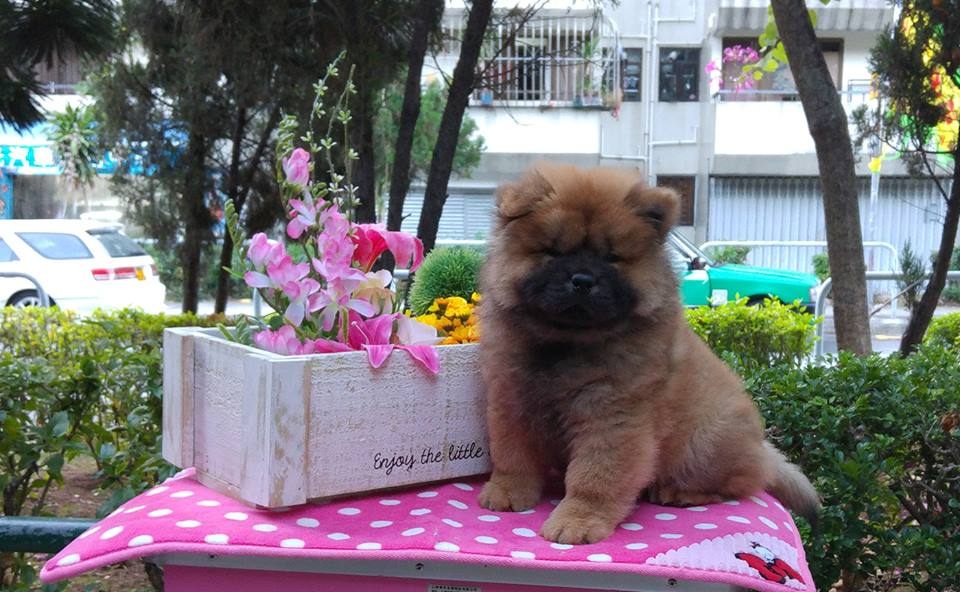 puppy for sale breed chow chow