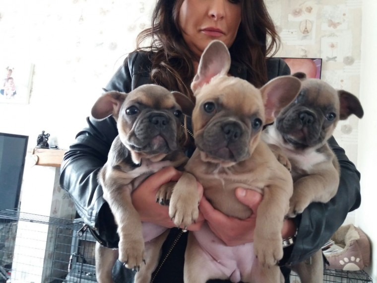 3 Beautiful Kc Registered French Bulldog Puppies